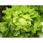 Salade Batavia (la pièce)